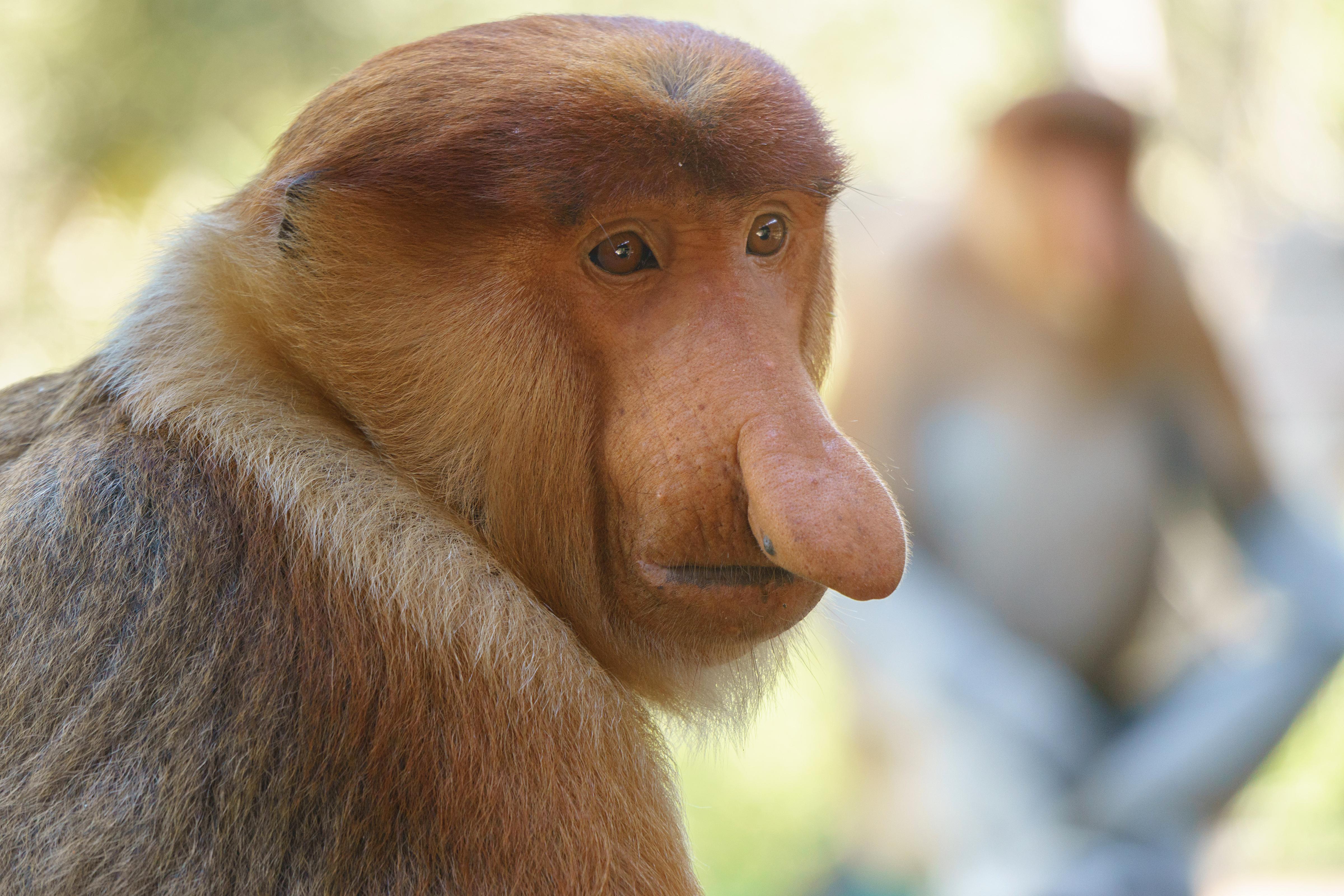 Scimmia_Borneo_Nasica
