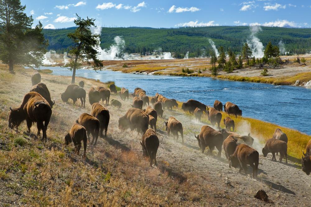 Una mandria di bisonti allo Yellowstone National Park