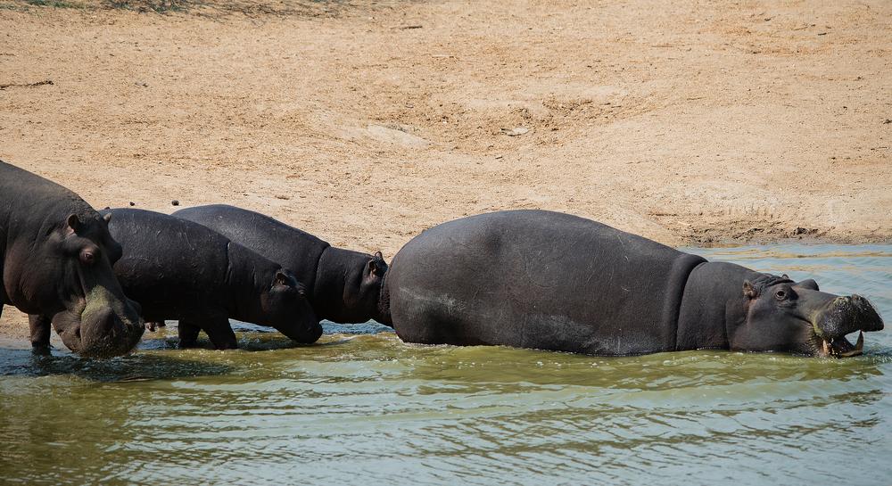 Safari Namibia Ippopotamo