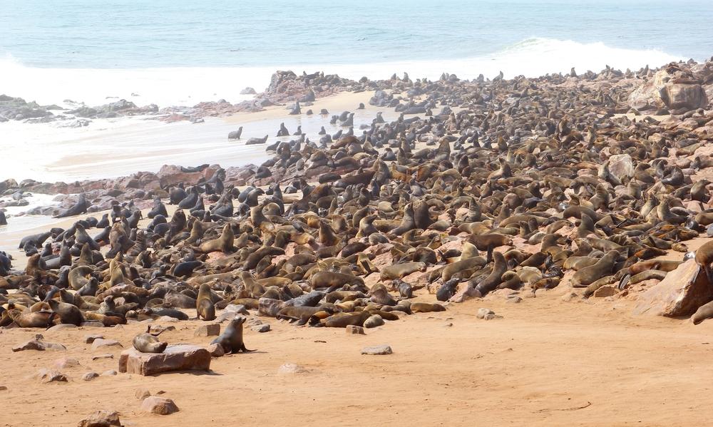 Safari Namibia foche