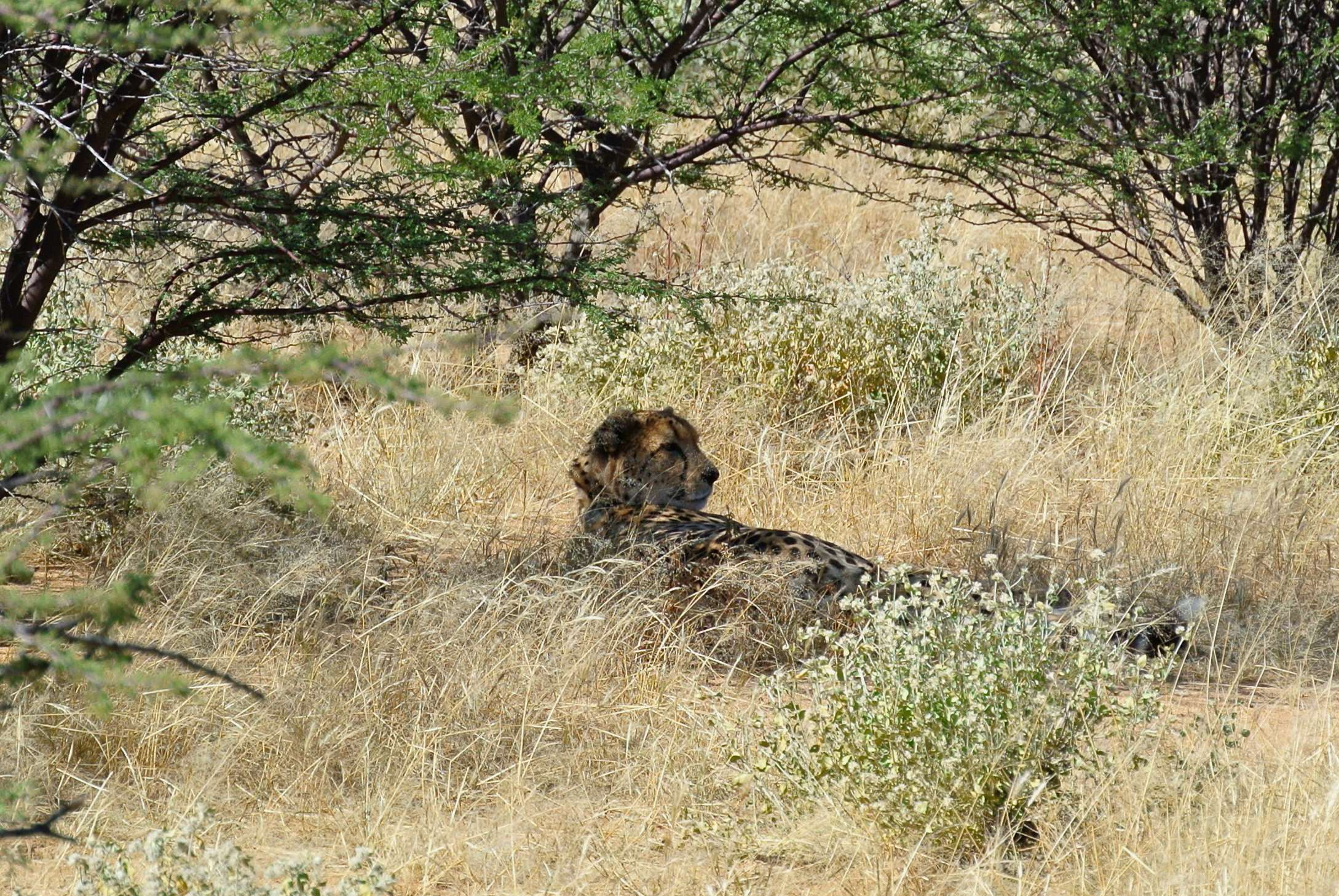 Safari Namibia ghepardo 2