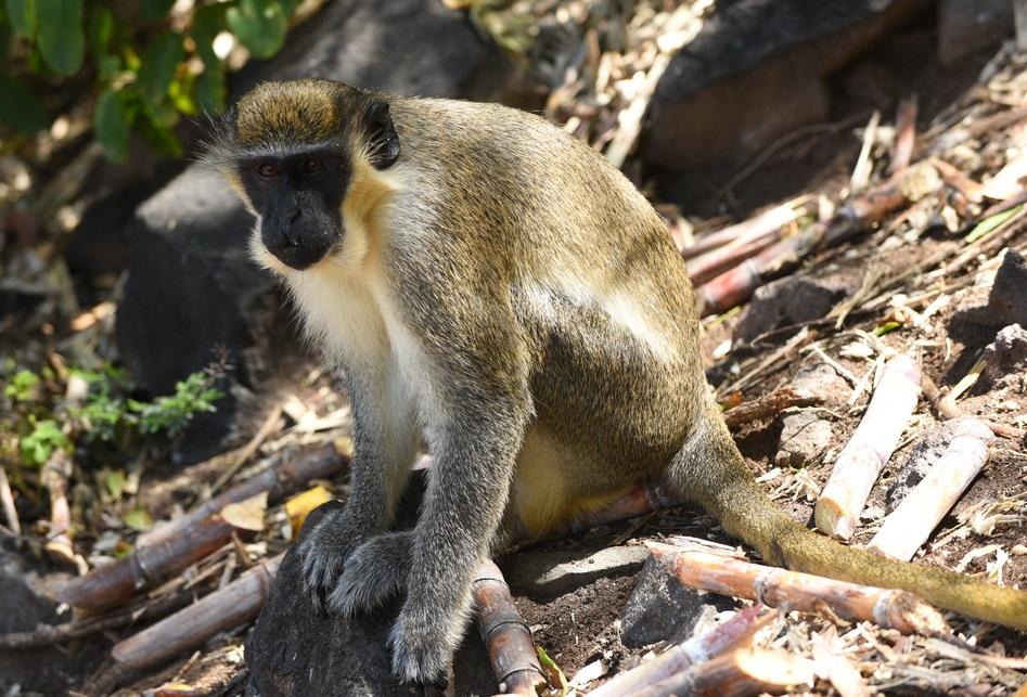 Saint Kitts e Nevis monkey
