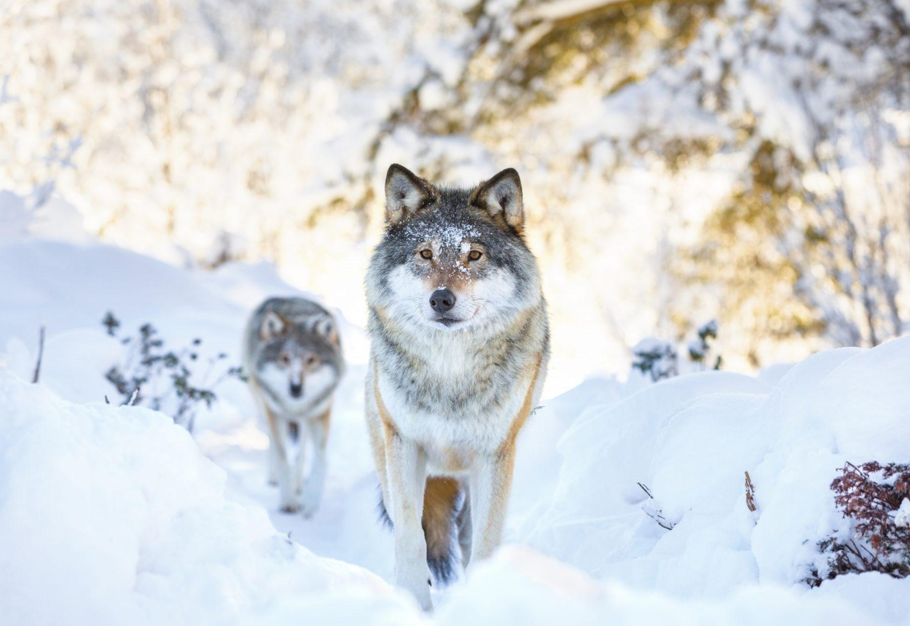 Viaggio nelle Rocky Mountains invernali wildlife watching