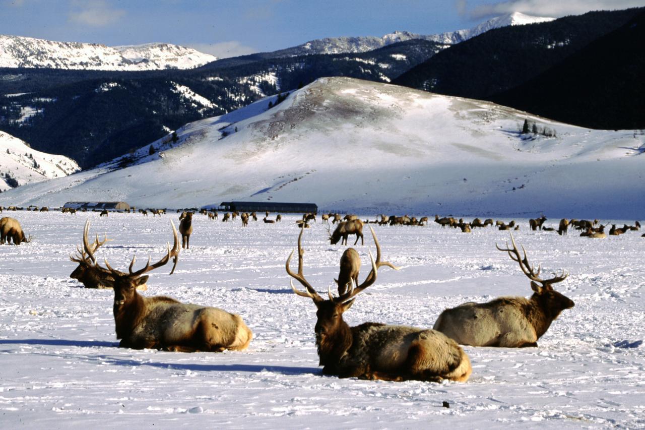 Viaggio Rocky Mountains Invernali National Elk Refuge