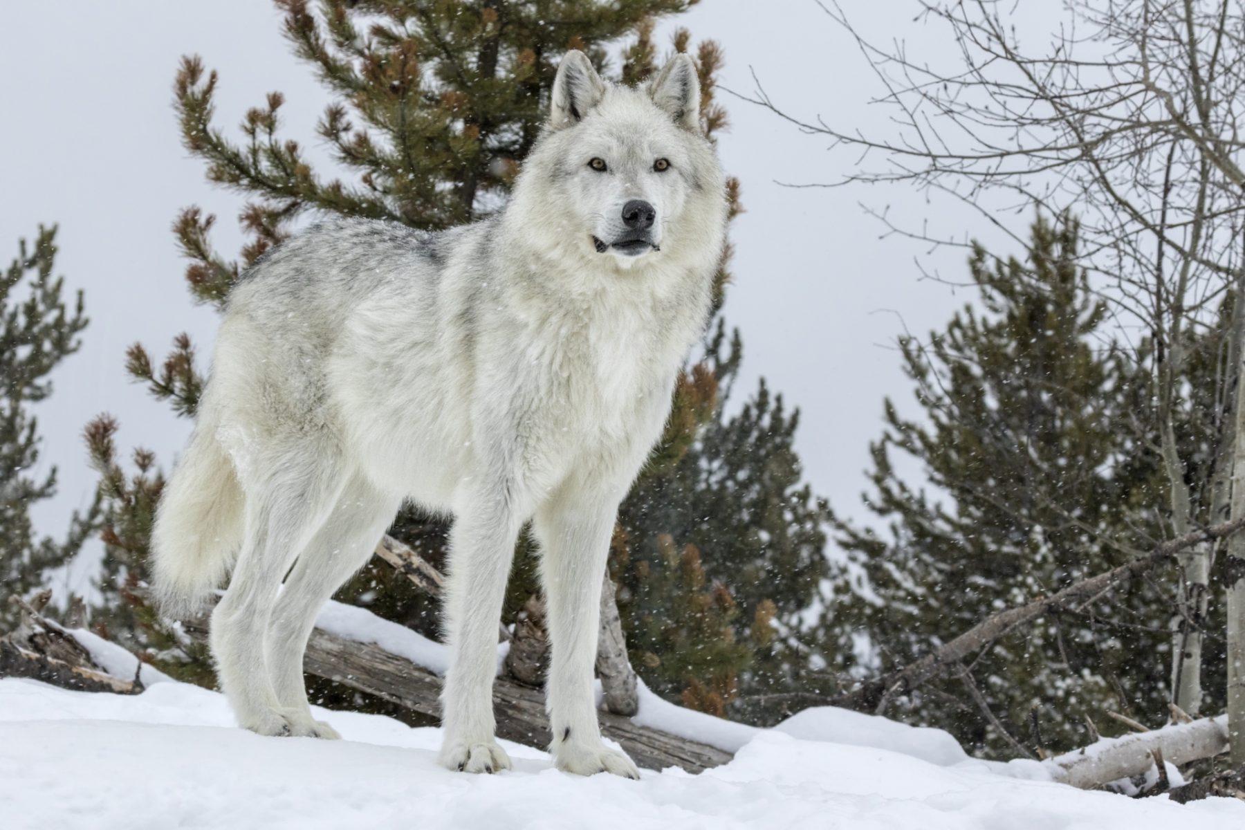 Viaggio alla scoperta dei lupi di Yellowstone
