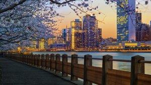 Cosa fare a New York in Primavera Ciliegi in fiore
