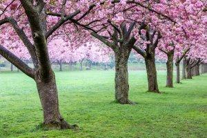 Cosa Fare a New York in Primavera Fioritura Ciliegi Brooklyn Park