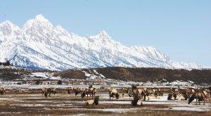 I Big Five delle Rocky Mountains National Elk Refuge