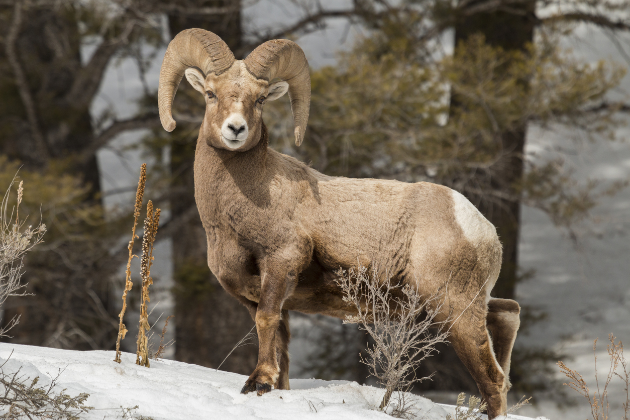 I big five delle Rocky Mountains Bighorn Sheep