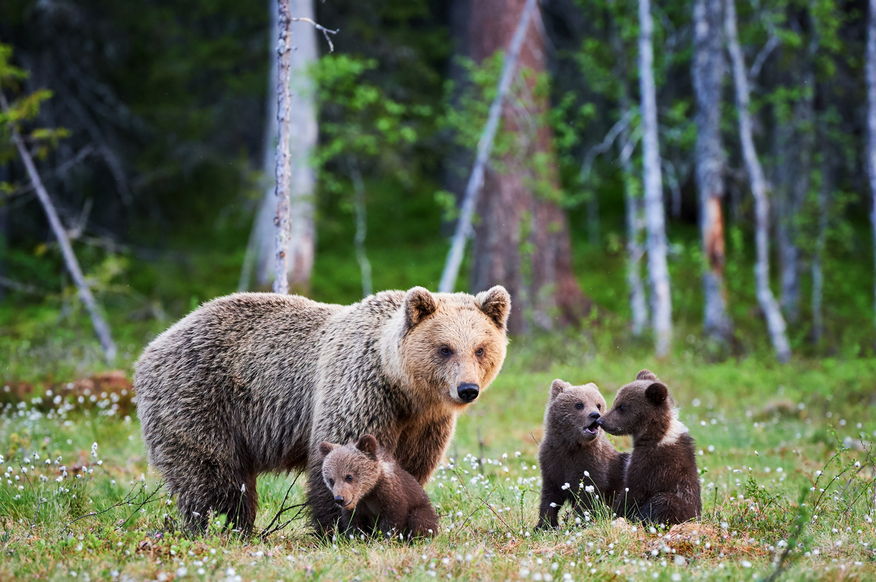 I big five delle Rocky Mountains grizzly