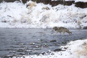 I big five delle Rocky Mountains: i lupi grigi di Yellowstone