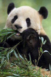 Viaggio in Cina Panda Gigante dove vederlo