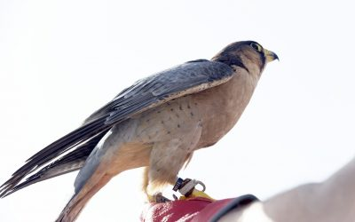 Closeup image of a baby falcon at a park