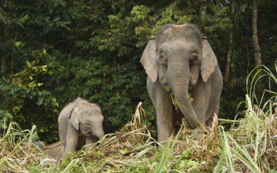 Natura Borneo elefante