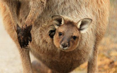 canguri_australia-2.jpg