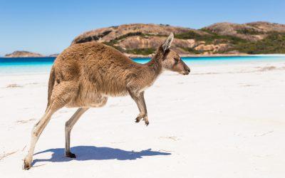 South Australia Kangaroo Island wallaby