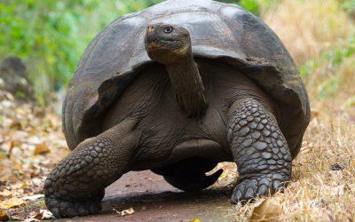 tartaruga-gigante-galapagos-3.jpg