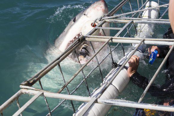 Sudafrica: sfida allo squalo bianco