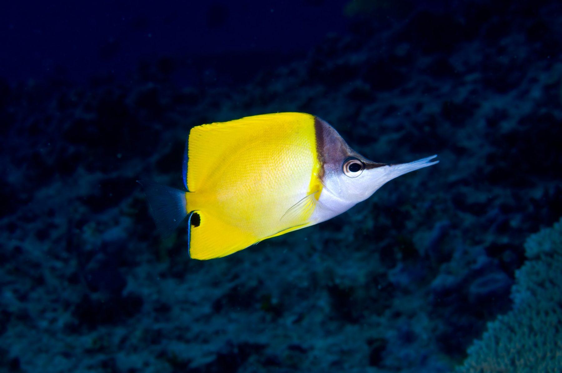 Isola di Bohol pesce farfalla