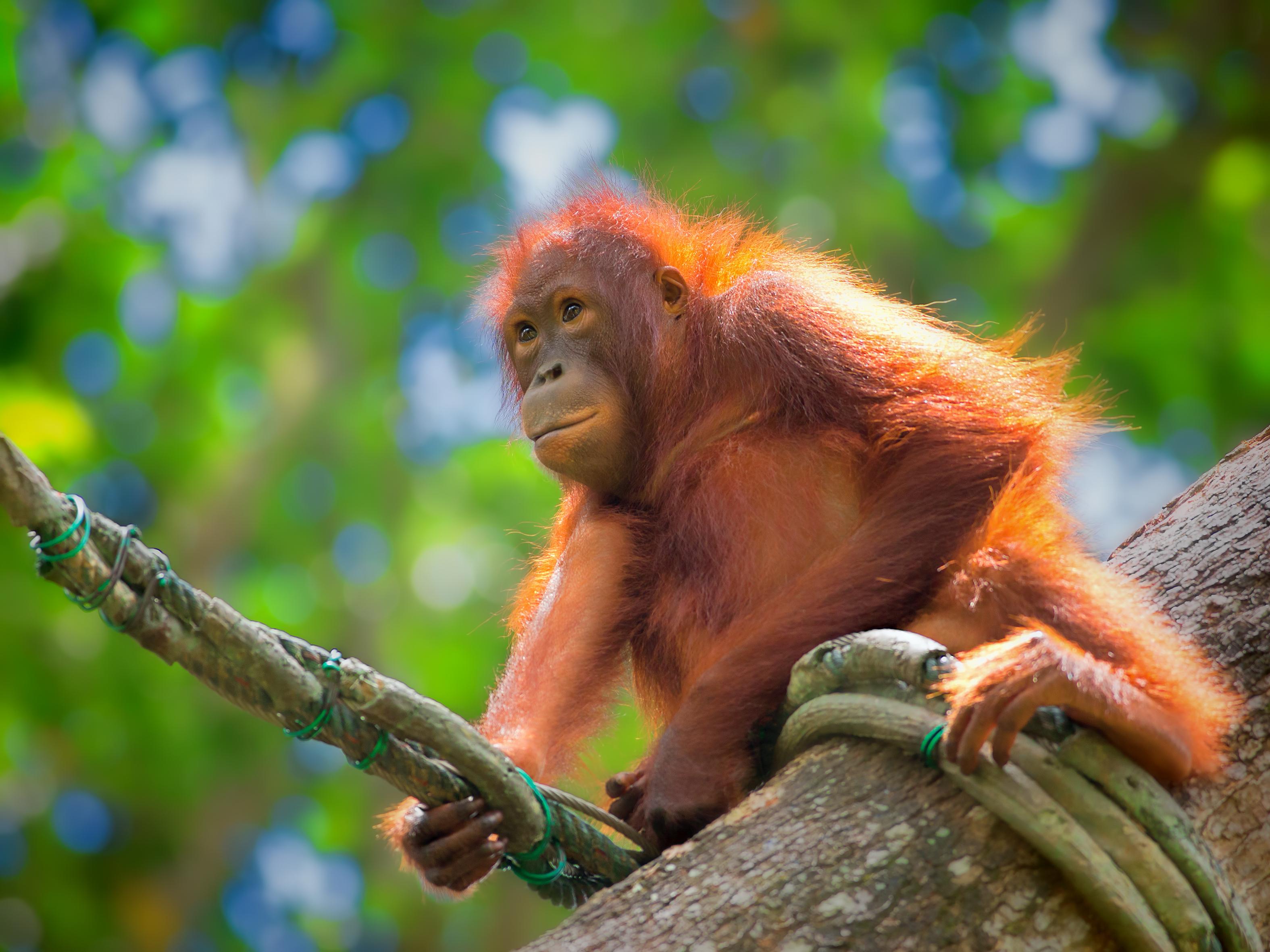 Un organo del Borneo
