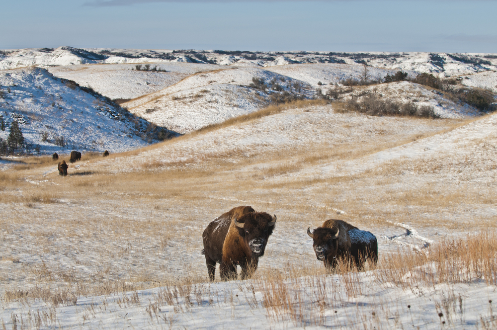 theodore-roosevelt-national-park-bisonti