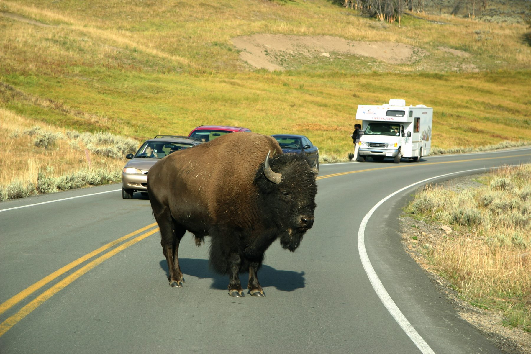 yellowstone-national-park-wyoming-bisonte