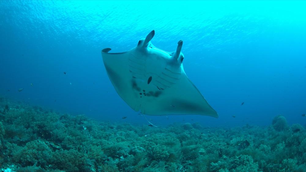 Al reef di Tubbataha, Filippine, non è raro incontrare le meravigliose mante