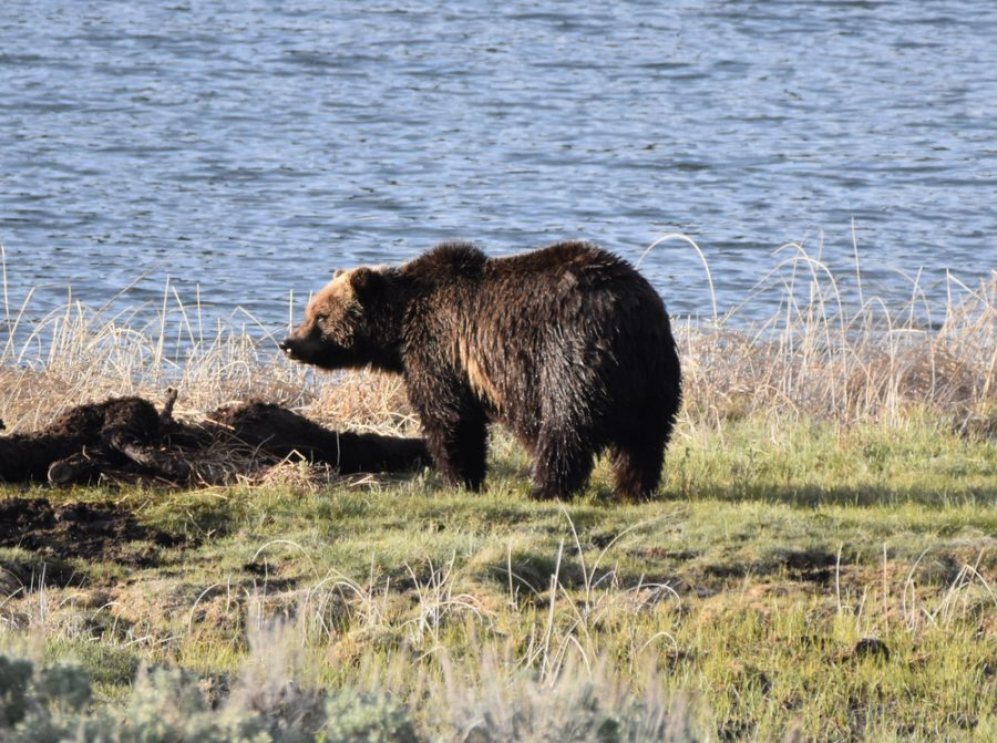 viaggio in Montana Yellowstone grizzly
