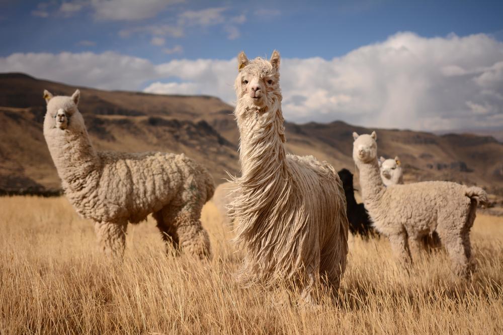 viaggio in cile alpacas