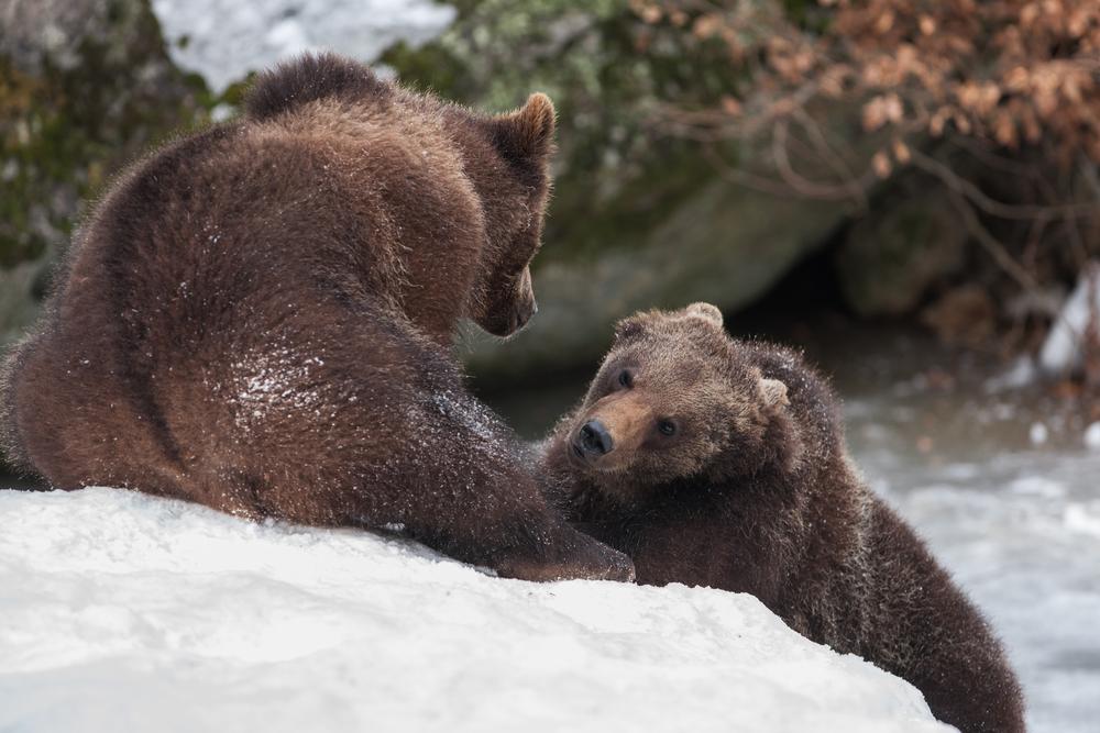 viaggio in Alaska orsi