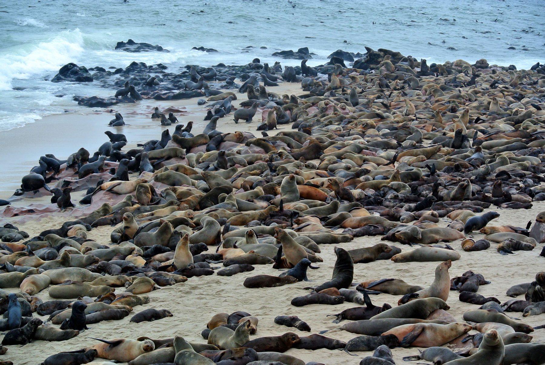 Safari Namibia foche cape Cross
