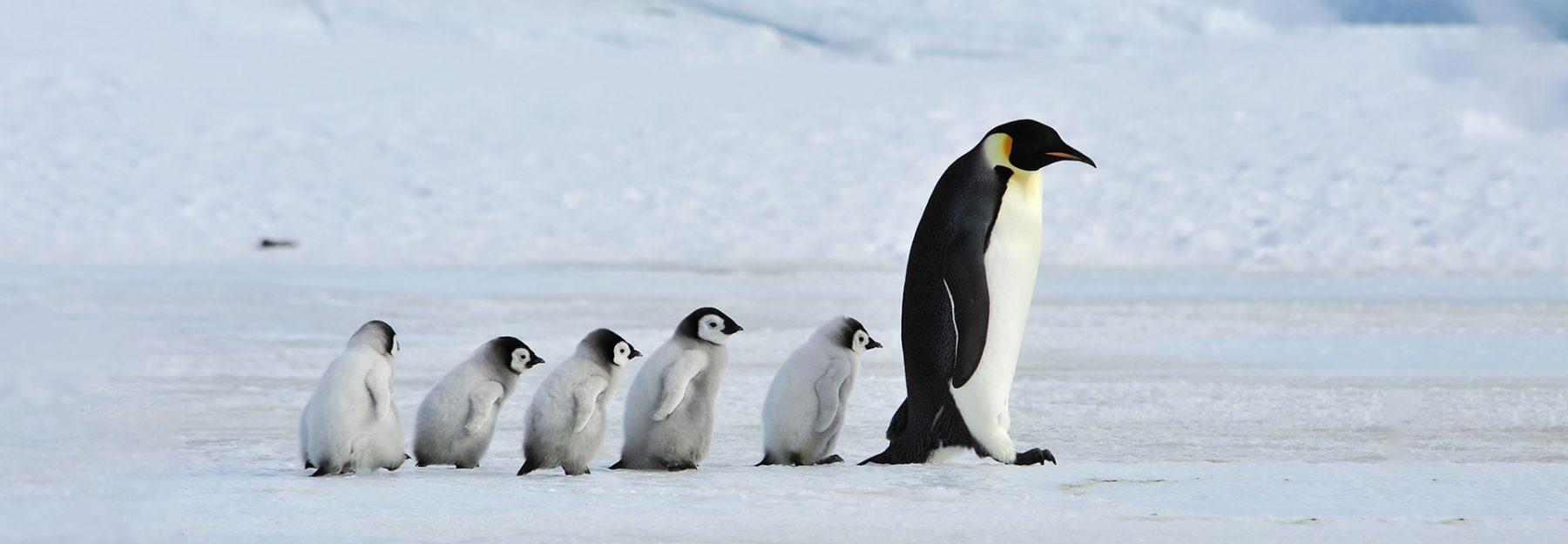 Viaggio in Antartide Pinguini Imperatore